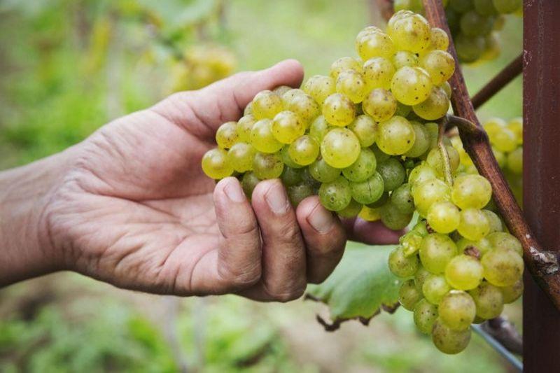Tipos de uva blanca