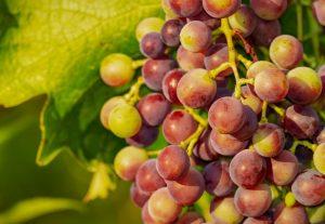 variedades de uva tinta en españa